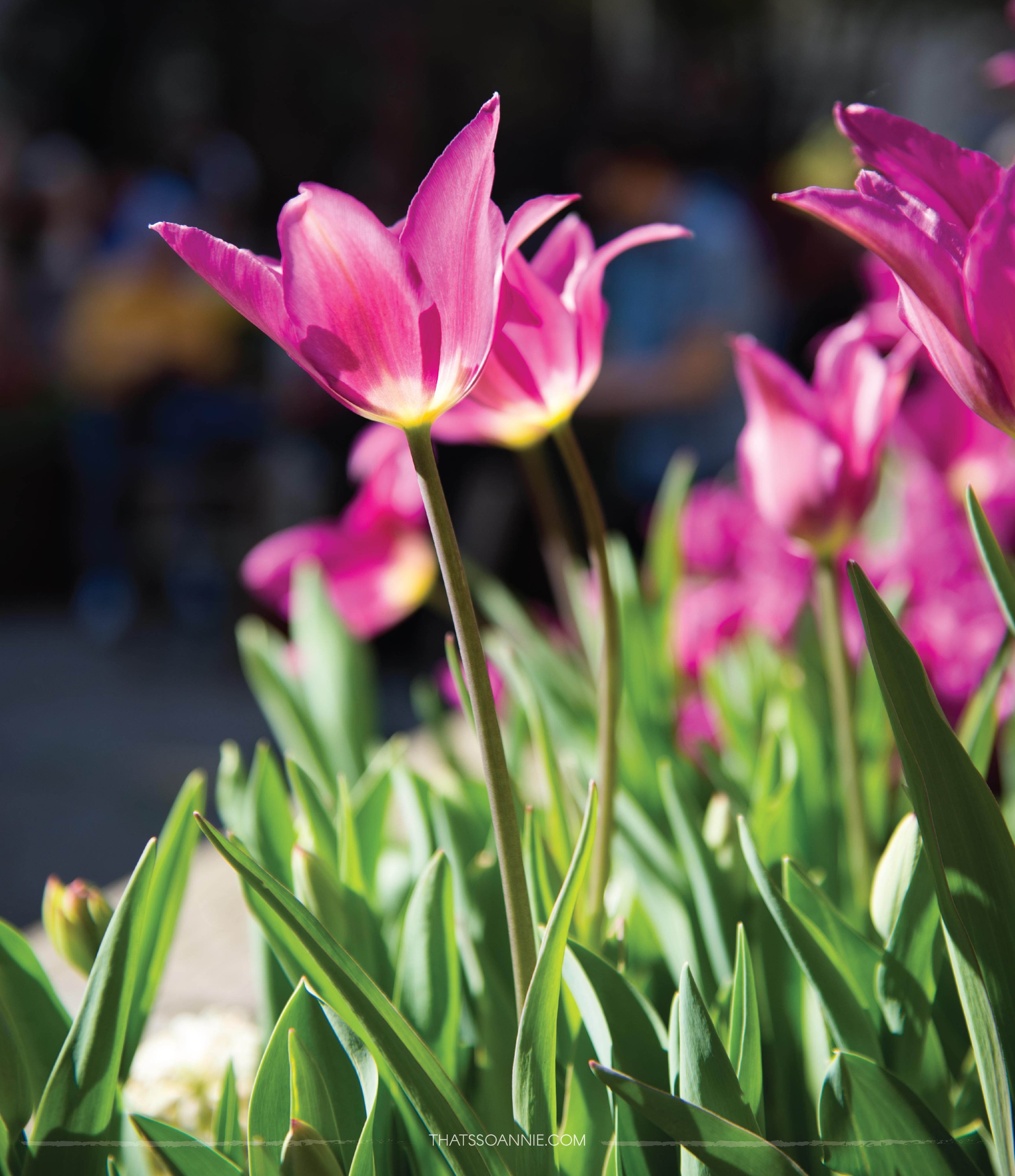NYC Tulip Festival