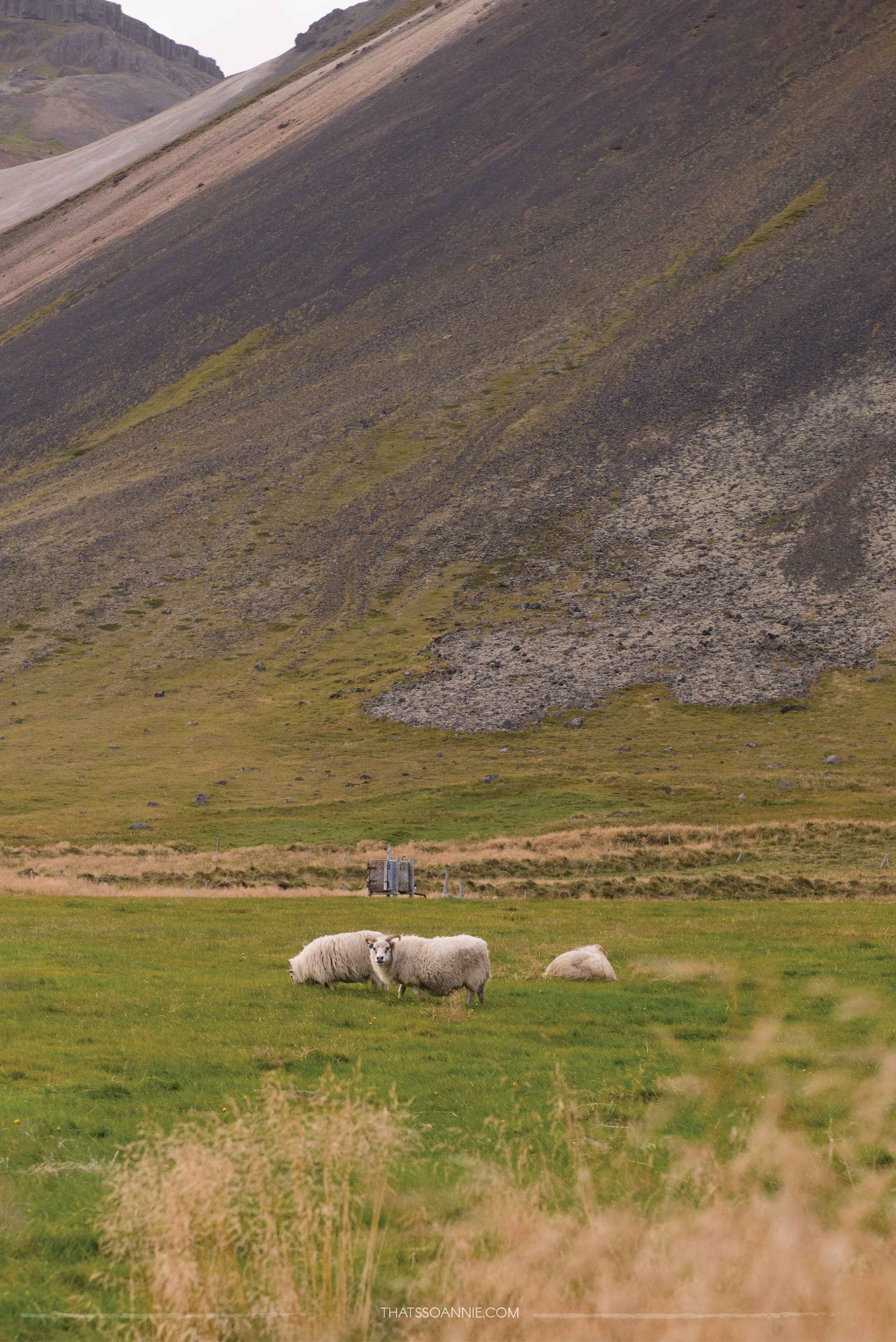 Running into my first Icelandic sheep! Exploring the Snæfellsnes Peninsula | Ring Road roadtrip, Iceland | www.thatssoannie.com