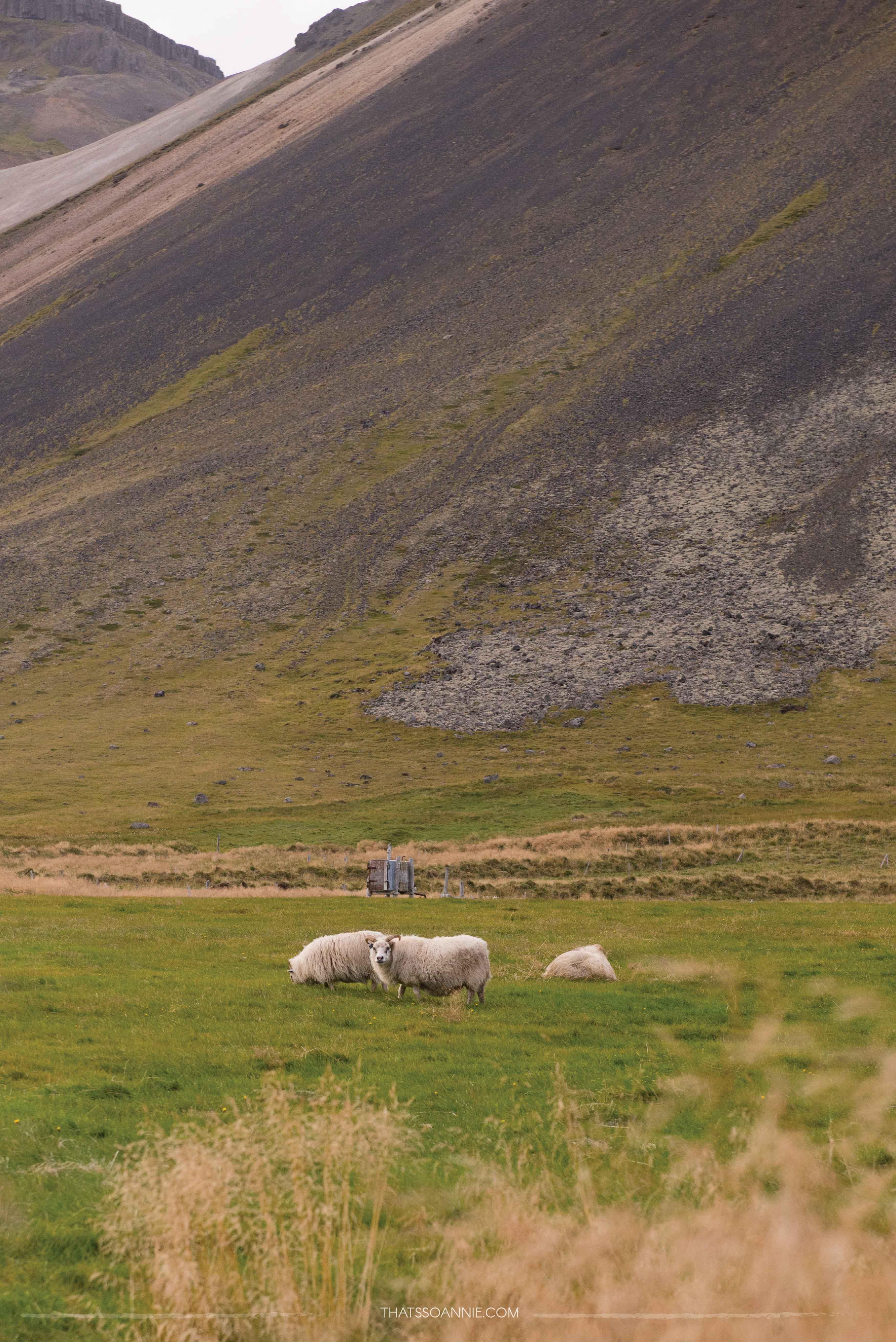 Running into my first Icelandic sheep! Exploring the Snæfellsnes Peninsula | Ring Road roadtrip, Iceland | www.thatssoannie.com