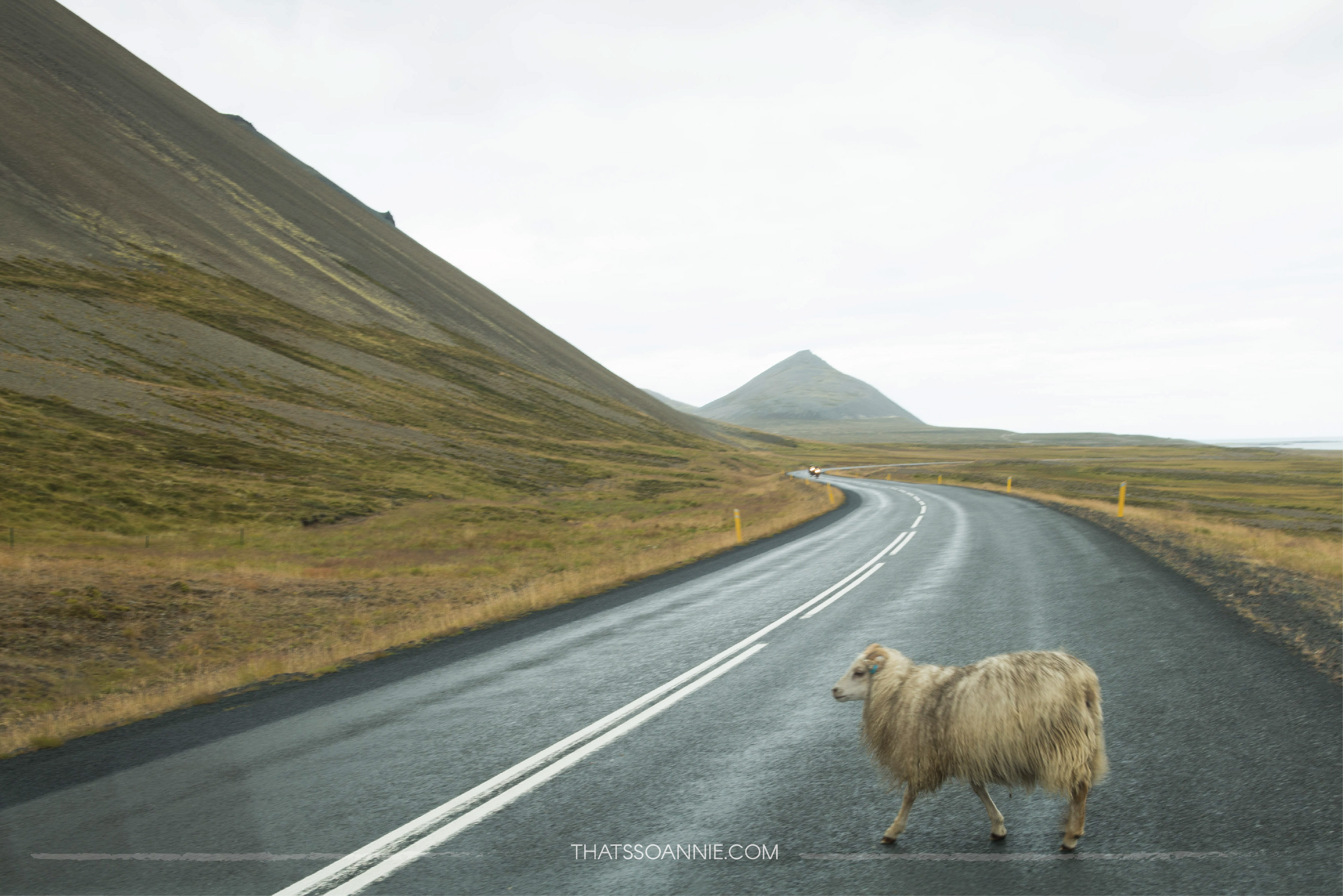 The first of thesuicidal sheep of Iceland! : 