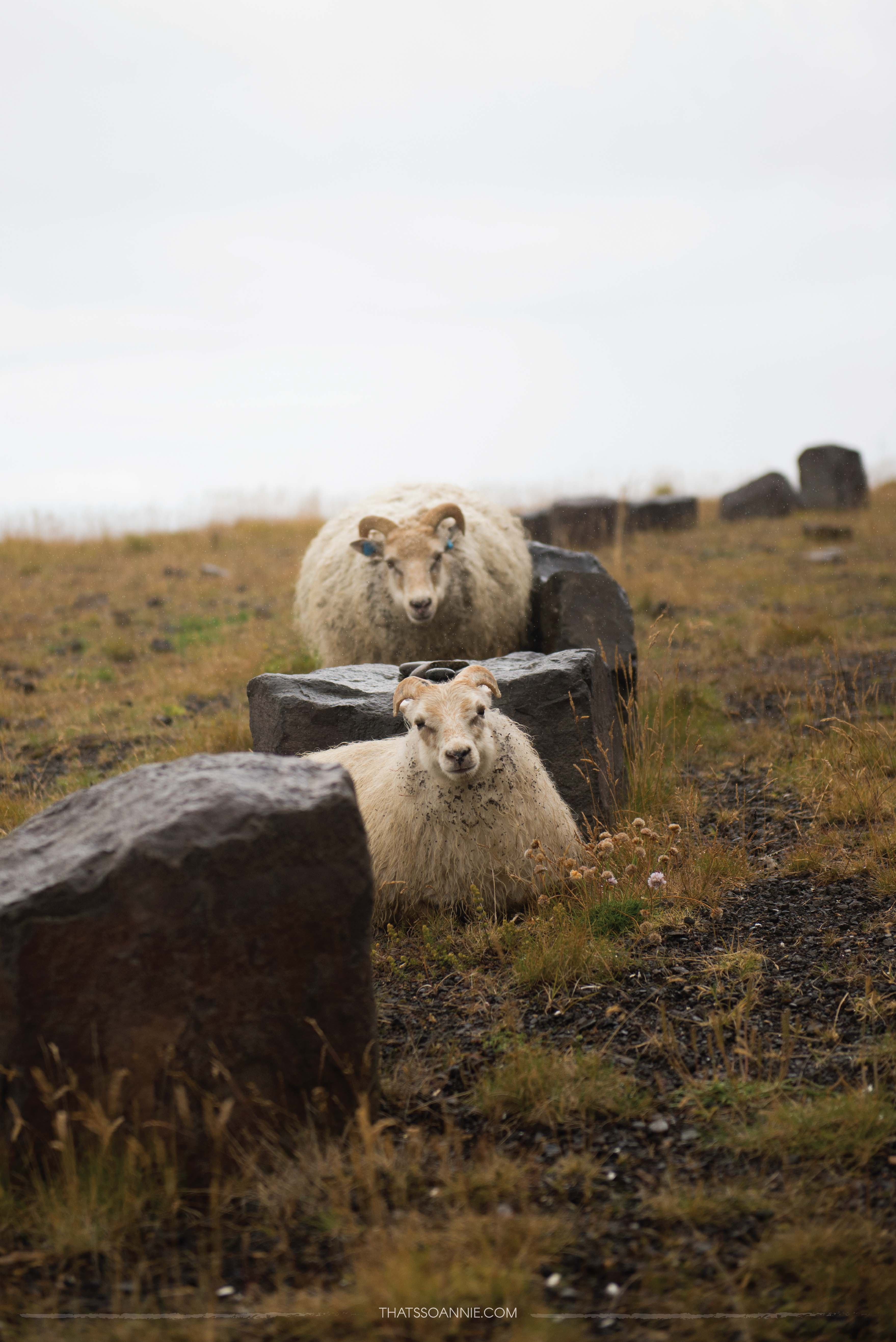 Super chill daredevil sheep surrounded by a halo of drizzle :)